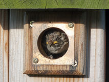 Baby Bird Peeks Out from Birdhouse Stock Photos