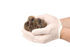 Baby bird of pigeon in hand. Baby bird of a pigeon in a hand of the veterinarian is isolated on a white background Royalty Free Stock Images