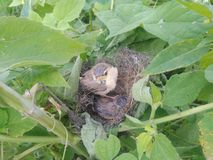 Baby bird. Real picture click with mobile stock photography