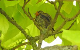 Baby bird robin fledgling in treetop Royalty Free Stock Photos