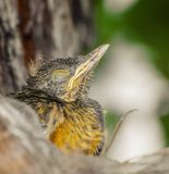 Baby bird sleeping with closed eyes. Small bird that doesnt fly yet waiting for mom. Rufous-bellied Thrush. Turdus Rufiventris; Sabia Laranjeira stock photography
