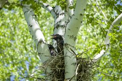 The baby bird a bird small sits on a tree a birch. The baby bird a bird small sits on a tree birch Royalty Free Stock Photos