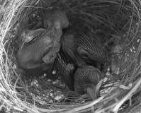 Baby bird Stock Image