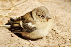 Baby bird of a sparrow Stock Image
