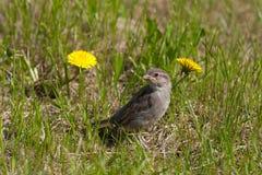 Baby bird of a sparrow Royalty Free Stock Photos