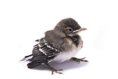 Baby bird sparrow. Isolated on white Stock Photos