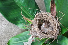 Baby bird, sparrow  in natural nest on tree. Baby bird, sparrow in natural nest on tree Stock Photography