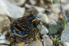Baby bird of a sparrow on stones. The baby bird of a sparrow sits on stones Royalty Free Stock Images