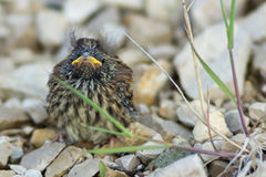 Baby bird of a sparrow on stones. The baby bird of a sparrow sits on stones Royalty Free Stock Image
