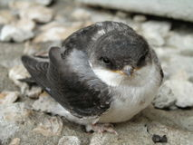 Baby bird of a swallow Stock Photography
