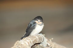 Baby bird of a swallow Royalty Free Stock Images