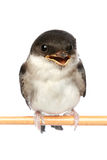 Baby bird of a swallow Stock Photo