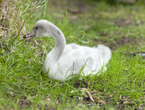 The baby bird of  swan Stock Image