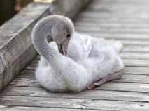 The baby bird of a swan cleans feathers on the mooring Stock Image