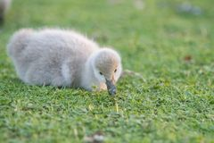 Baby bird swan on green grass background. Baby bird swan on grass background Royalty Free Stock Image