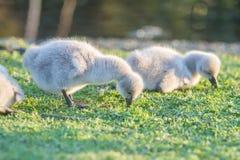Baby bird swan on grass background. Baby bird swan on green grass background Royalty Free Stock Images