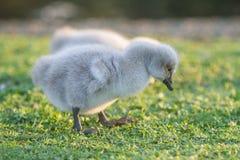Baby bird swan on green grass background. Baby bird swan on natural background Stock Image