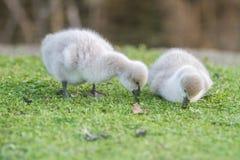 Baby bird swan on green grass background. Baby bird swan on natural background Stock Photos
