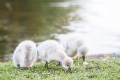 Baby bird swan on green grass background. Baby bird swan on natural background Stock Photo