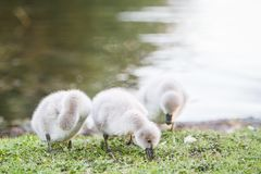 Baby bird swan on green grass background Stock Photography