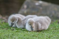 Baby bird swan on green grass background Royalty Free Stock Photography