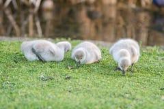 Baby bird swan on green grass background. Outdoor portrait of baby bird swan on green grass background Stock Photo