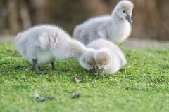 Baby bird swan on green grass background. Outdoor portrait of baby bird swan on green grass background Stock Photography
