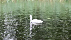 Baby bird of a swan in the lake stock video
