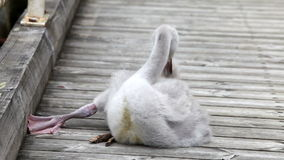 Baby bird of a swan stock video footage