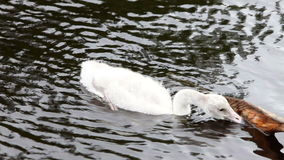 Baby bird of a swan stock footage