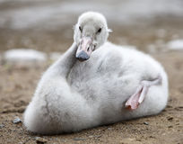 Baby bird of a swan in  lake Royalty Free Stock Images
