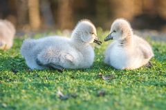 Baby bird swan on green grass background Stock Image