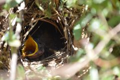 Baby bird in their nest yelling for mommy Stock Images