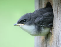 Baby Bird - Tree Swallow. Baby Bird (Tree Swallow) peeking out of a bird house Stock Photography