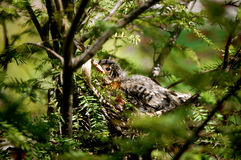 Baby Bird in the trees-1 Royalty Free Stock Image