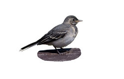 The baby bird wagtail Stock Image