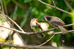 Baby bird waiting to be fed. Young baby bird sitting on a branch with his beak open Stock Photography