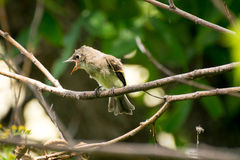 Baby bird waiting to be fed. Young baby bird sitting on a branch with his beak open Stock Images