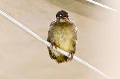 Baby bird on wire Stock Image