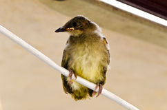 Baby bird on wire Stock Photos