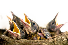 Baby birds. Robin chicks in nest isolated Royalty Free Stock Images