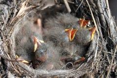 Baby birds Stock Image