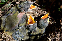 Baby Birds. In nest waiting to be fed royalty free stock photography