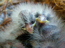 Baby Birds. Two little baby birds snuggle together to stay warm Royalty Free Stock Photography