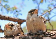 Baby Birds from Africa - Shrike, Helmeted Stock Photography