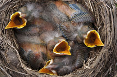 Baby birds all open mouths. Baby Robin birds in a nest with four mouths open Stock Photography