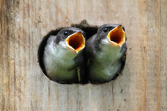 Baby Birds In a Bird House. Pair of hungry Baby Tree Swallows (tachycineta bicolor) looking out of a bird house begging for food royalty free stock photography