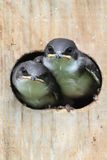 Baby Birds In a Bird House Royalty Free Stock Images