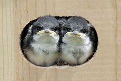 Baby Birds In a Bird House. Pair of Baby Tree Swallows (tachycineta bicolor) looking out of a bird house stock images