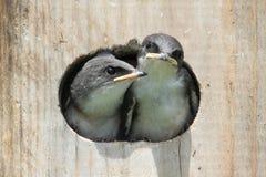 Baby Birds In a Bird House stock photos
